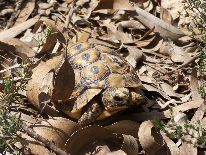 tortue-greque