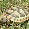 tortue-greque1